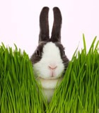 Одолеть воспаления помогут… кролики