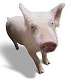 Легкие свиней готовы для пересадки человеку