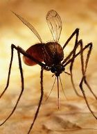 Комар вместо шприца