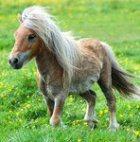 Родилась лошадь размером с кошку