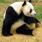 «Лицом 2011 года» стала… панда Свити