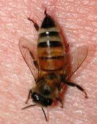 Пчелиный яд «работает» не хуже ботокса