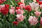 Весенний фестиваль цветов в Ботаническом саду МГУ «Аптекарский огород» 21 апреля — 3 июня 2012 года