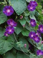 В БАДах присутствуют психотропные растения