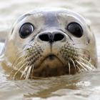 Врачи пугают новой формой гриппа - тюленьего