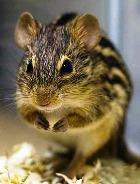 Мыши позволят человечеству избавиться от шрамов