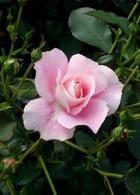 От запаха пота спасут конфеты из роз