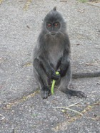 Россиян арестовали за эксплуатацию обезьян в Таиланде