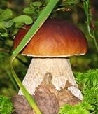 Продукт для похудения – белые грибы