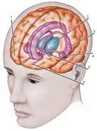 Клетки мозга быстро восстанавливаются даже у взрослых