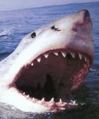 Французский остров Реюньон кишит акулами