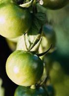 Варенье из зеленых томатов