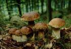 Трубчатые грибы без уксуса