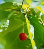 Ликер «Вишневый лист»