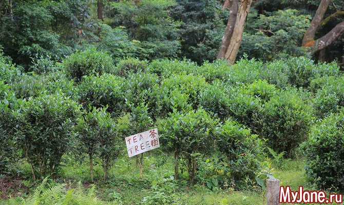 дерево чайное фото