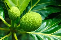 Спасение от голода – выращивание хлебного дерева