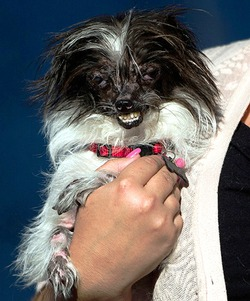 В Америке прошел конкурс «Самые некрасивые собаки-2014»