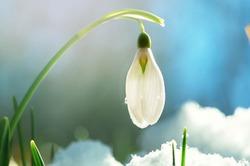 19 апреля  - День подснежника