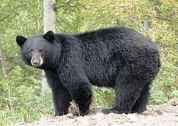 Селфи с медведями в Америке попали под запрет