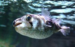 Недалеко от Севастополя поймали рыбу фугу