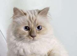 Любимая кошка Карла Лагерфельда обогатила кутюрье на 3 миллиона евро