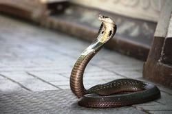 Полиция Индии помешала жениху жениться на змее