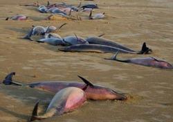 В Японии зафиксирован массовый выброс дельфинов