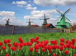 Прощай, голландская красота! Россия может запретить ввоз из Голландии тюльпанов
