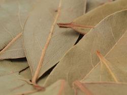 Антипохмельным средством в древности был лавровый лист
