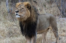 В Зимбабве убили знаменитого льва Сесила. Общественность возмущена