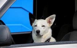 Американский пёс, севший за руль, сбил пешехода