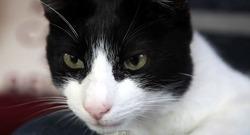 В Британии проживает самый громкий кот