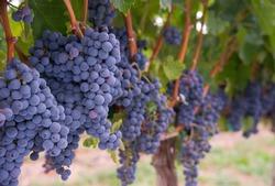 4 октября - Фестиваль винограда
