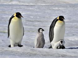 Хотите помочь Оксфорду пересчитать пингвинов Антарктиды?
