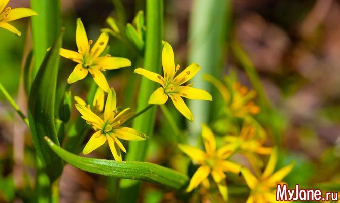 Лук гусиный или «жёлтый подснежный колокольчик»