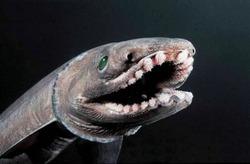 В Австралии поймали древнюю акулу, имеющую 25 рядов зубов