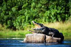 Мэр мексиканского города взял в жёны крокодила