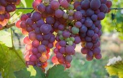Для сохранения фигуры ешьте виноград!