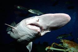 В Австралии поймали редкую акулу-домового