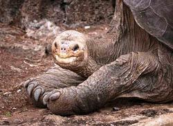 Почти всех гигантских галапагосских черепах съели крысы