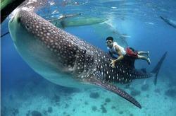 В Австралии предлагают плавание с китовыми акулами