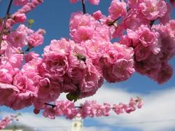 Япония оделась в розовые кружева. В стране раньше времени зацвела сакура