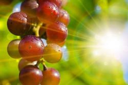 Доказано, что виноград может помочь в лечении остеопороза