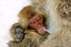 Детёныша макаки в японском зоопарке назвали в честь дочки принца Уильяма