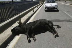 Коррида в городе: сбежавший бык ранил 11 человек
