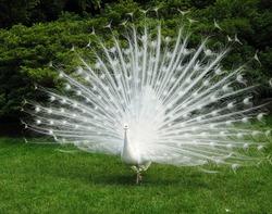 В московском зоопарке появился белый павлин