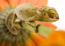 Ученые: ящерицы наберут до 100 кг веса