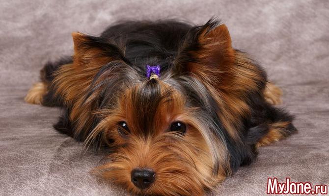 Маленькие собачки: мода или удобство?