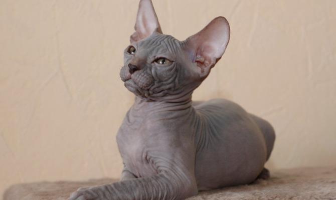 Самые необычные породы кошек, о которых вы, возможно, даже не знали