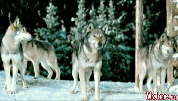 Волко-собаки: что мы о них знаем? собака...